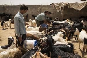 برای رفع نگرانی از بیماری تب کریمه کنگو، قصابی های داریون ذبح دام را زیر نظر دامپزشکی انجام دهند