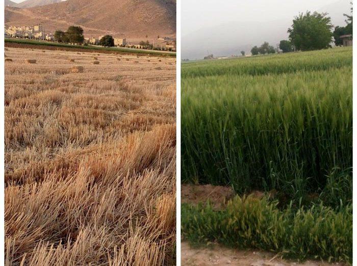 عکس های متفاوتی از زمین های کشاورزی اطراف داریون