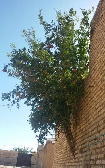 در داریون درختی از دیوار رویید و میوه داد!+عکس