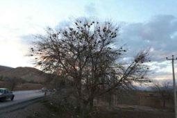 درخت مهربانی در داریون
