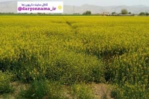 مزارع زیبای کلزا در دودج+تصاویر