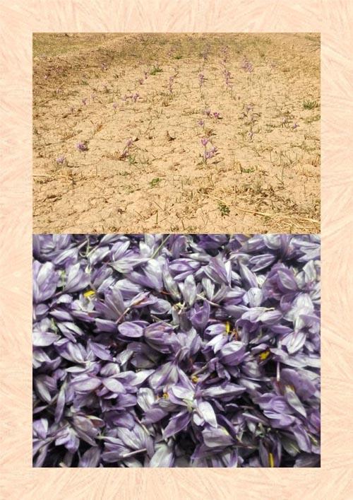 کشت و برداشت موفقیت آمیز زعفران در داریون+عکس