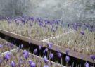 کاشت زعفران آیروپونیک در داریون